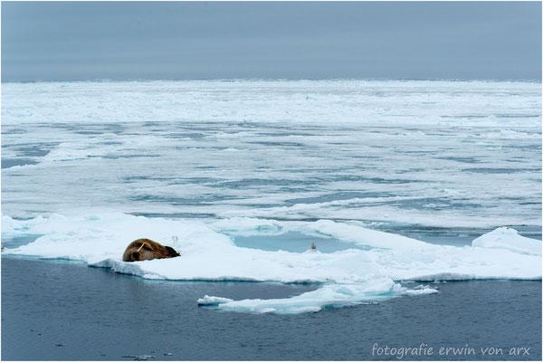 Ein einsames Walross auf dem Treibeis. 50km vom Festland entfernt, 81° 23' N