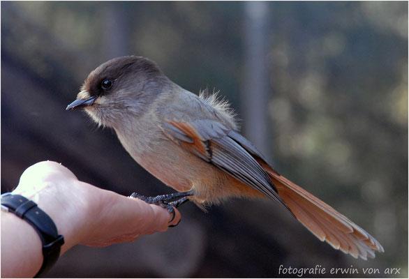Kuukkeli, Lapplands Glücksvogel