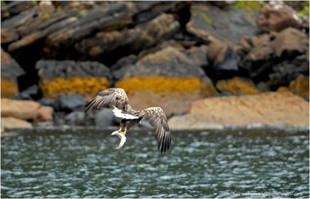 Seeadler, guter Fang
