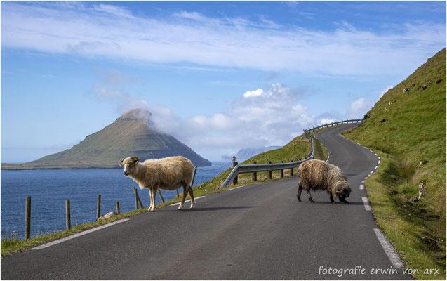 Überall anzutreffen einige der über 70'000 Schafe der Färöer-Inseln