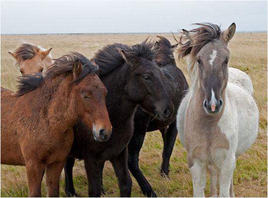 Island, Pferde im Wind und Regen