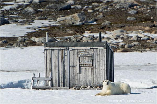 Der erste Eisbär gibt uns auf Phippsoya die Ehre. Vor einer alten Trapperhütte legt er sich fürs Fotoshooting hin bis alle ihre Bilder gemacht haben