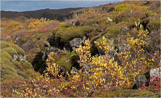 Island, die Flora kämpft sich durch