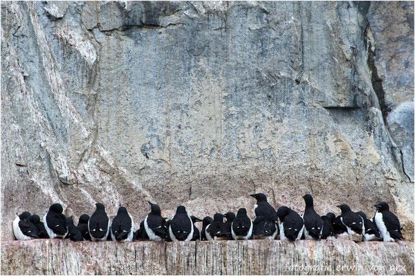 Dickschnabellummen kleben an den Felswänden