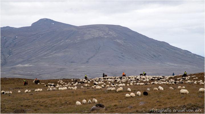Hunderte von Schafen sind auf dem Weg ins Tal