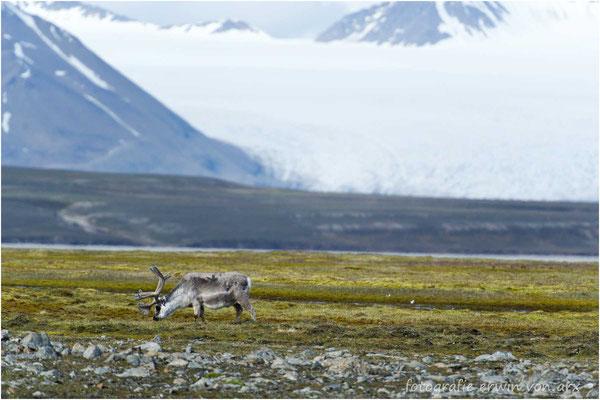 Ein Spitzbergenrentier