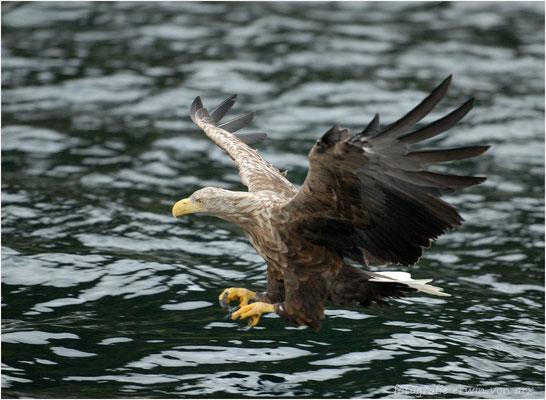 Seeadler kurz vor dem Zugreifen