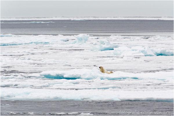 Wir fahren bis zur Eiskante und sehen ganz einsam unseren zweiten Eisbären