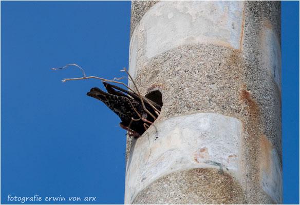 Ein Starenpaar nistet in einem 20m hohen Betonmast