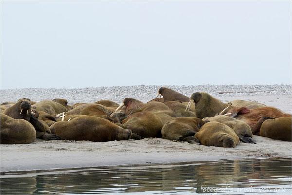 Erstes Highlight, eine Gruppe Walrosse die sich von unserer Anwesenheit nicht stören lassen