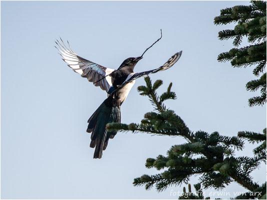 Elster beim Nestbau