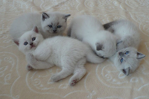Katzen, BKH, lilac-point (links) und blue-point, 4 1/2 Wochen alt