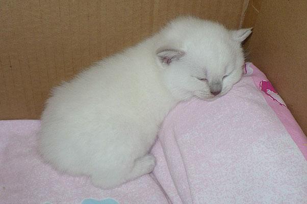 Katzen, BKH lilac-point, 26 Tage alt
