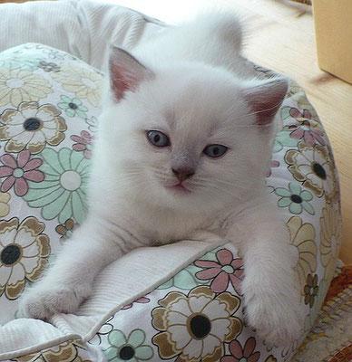 Katzen, BKH,lilac-point, 4 1/2 Wochen alt