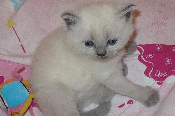 Katzen, BKH blue-point, 26 Tage alt