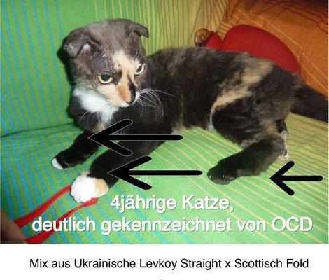 Die Katze hat nur ein einziges Gen für Faltohren