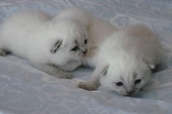 Katze, BKH, 18 Tage alt