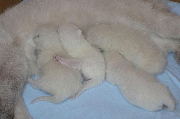 Katzen, BKH, 7 Tage alt