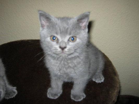 Katze, BKH, blue