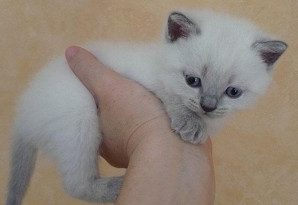 Katzen, BKH, blue-point, 4 1/2 Wochen alt