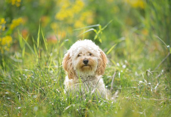 Hondenfotografie, multipoo, fotograaf Hardenberg