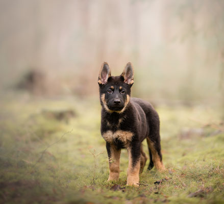 puppy fotografie, hondenfotograaf, fotograaf Hardenberg, fotograaf overijssel