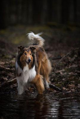 Collie, fotograaf Hardenberg