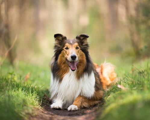 Collie, fotograaf Hardenberg, hondenfotografie