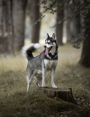 Hondenfotografie, Husky, fotograaf Hardenberg