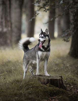 Hondenfotografie, Husky, fotograaf Hardenberg, hondenfotografie Overijssel