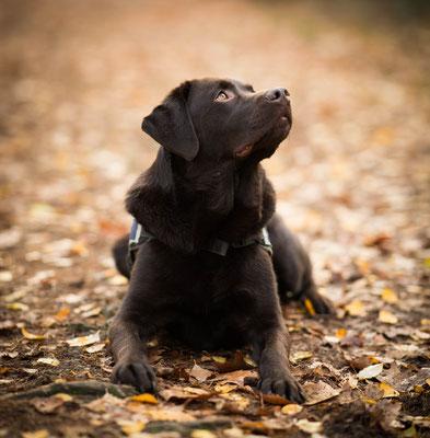 Labrador, fotograaf Hardenberg, hondenfotografie