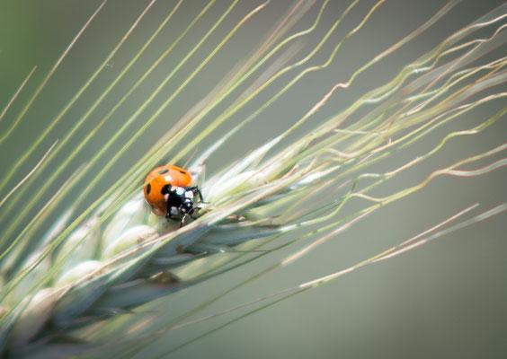 Natuurfotografie, fotograaf Hardenberg, lieveheersbeestje