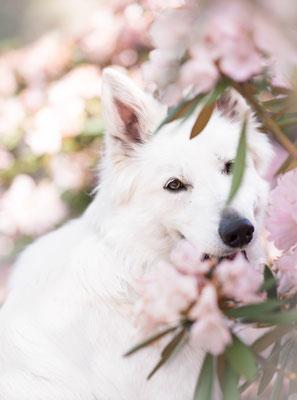 Witte herder, hondenfotografie, fotograaf Hardenberg