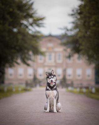 hondenfotografie, fotograaf Hardenberg, husky, fotograaf overijssel