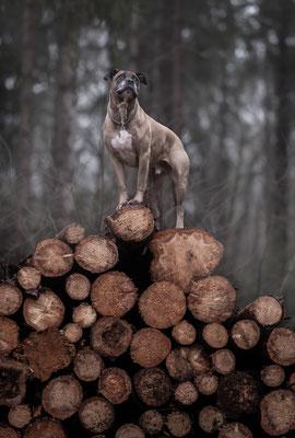 hondenfotografie, fotograaf Hardenberg, cane corso
