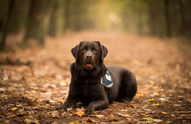 Hondenfotografie, fotograaf Hardenberg, labrador, hulphond