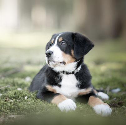puppyfotografie, hondenfotograaf, fotograaf Hardenberg, fotograaf overijssel