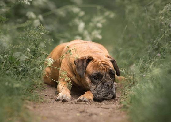 Boxer, fotograaf Hardenberg, hondenfotografie