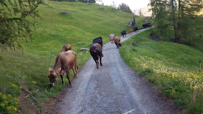 Mit den Kühen auf dem Weg zur Alp