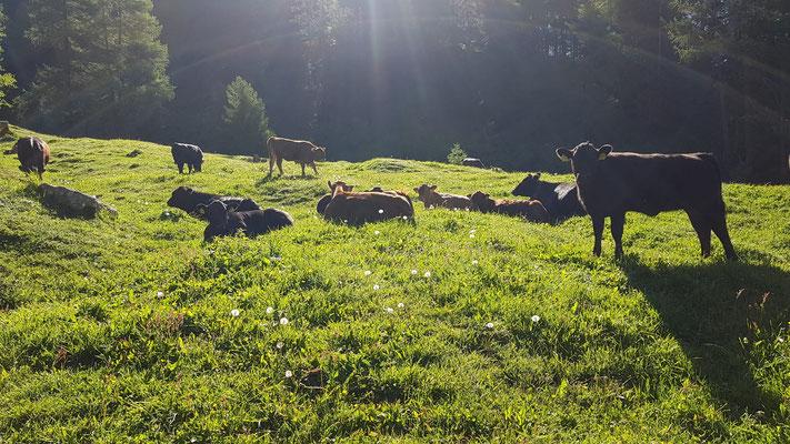 Die Kühe auf der Alp Chöglias