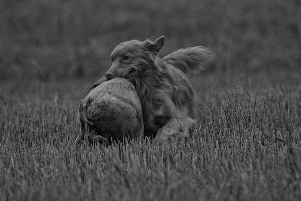 Jagdhund bei der Gänsejagd
