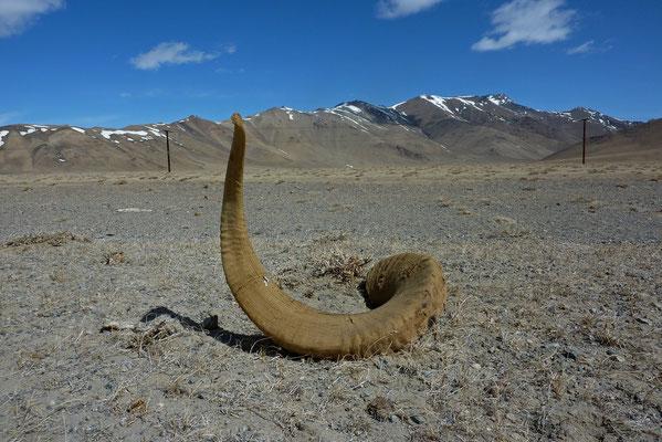 das Horn eines Marco-Polo-Schafes