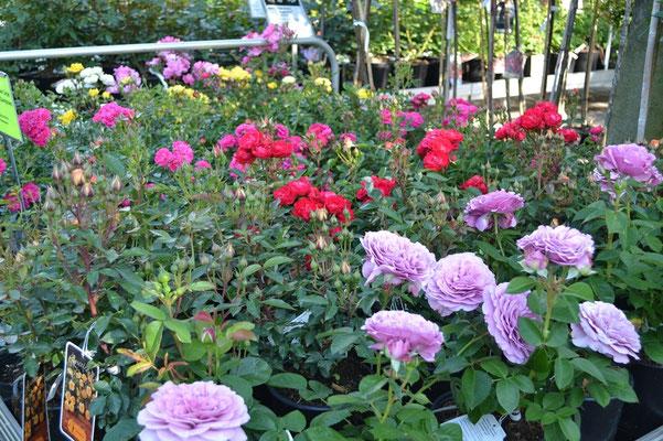 Rosen in Sonderfarben
