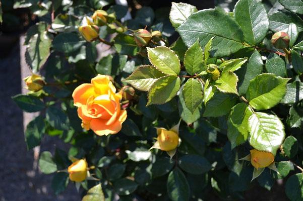 Soviel Blühpower kann eine Rosenpflanze entwickeln
