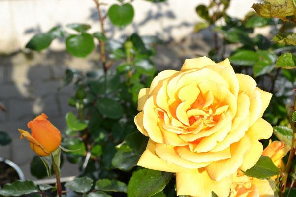 Rose – von der Knospe bis zur Blüte