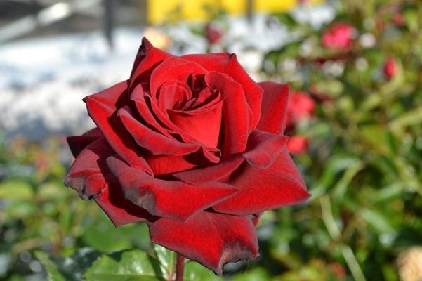 Rose – die Königin der Blumen