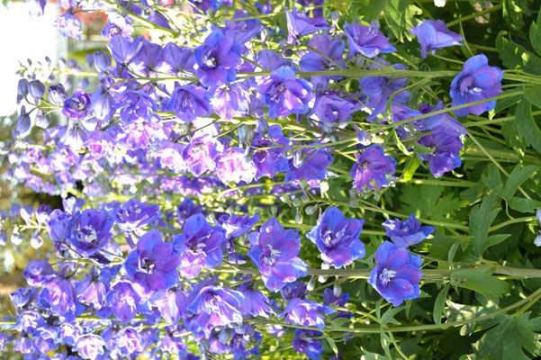 Rittersporn in voller Blüte