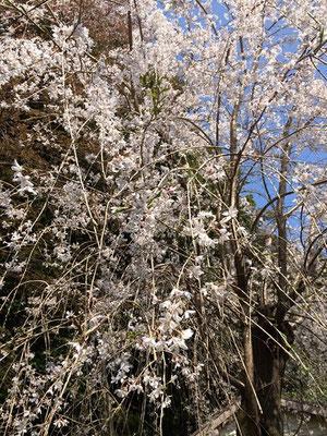 廃校のトイレの桜