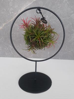 Ansu Tillandsia Circle - € 39,95 - art. PLANT009