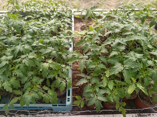 Die Tomatenpflanzen wurden bereits vorgezogen und werden bald gepflanzt, damit es im Sommer herrlich leckere Früchte gibt.